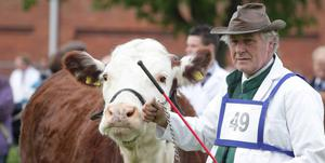 The Balmoral Show on the opening day. May 2010 .A showman with his Hereford cow.