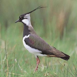Embargoed to 0001 Monday September 3Undated file photo of a Lapwing adult. Rare birds such as the stone-curlew face a bleak future unless the Government replaces set-aside land with schemes that will protect wildlife, the RSPB warned today. PRESS ASSOCIATION Photo. Issue date: Monday September 3 2007. Other farmland species in decline - including skylarks, yellowhammers, lapwings and barn owls - could be 'devastated' if fallow land which provides food and shelter for birds is cultivated, the charity said. The RSPB said conservation gains aided by set-aside, which was compulsory under the Common Agricultural Policy but will be scrapped next year, will be lost without Government efforts. See PA story ENVIRONMNET SetAside. Photo credit should read: RSPB/PA Wire