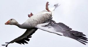 This greylag goose was captured by wildlife photographer Brian McFarlane in a manoeuvre known as whiffling'  - June 2009