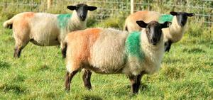 Sheep   in County Tyrone have been targeted in a sectarian attack when they were sprayed with Green and Orange dye to form an Irish tricolour on their coats.