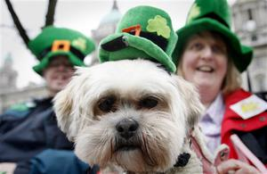 A dog called Shamrock is dressed in a festive costume for St Patrick's Day in Belfast, Northern Ireland, Tuesday, March 17, 2009. Catholic Archbishop Diarmuid Martin of Dublin emphasized that the island's 4 million Catholics must pray on St. Patrick's Day for an end to Irish Republican Army dissident attacks that claimed three lives this month in the British territory of Northern Ireland. (AP Photo/Peter Morrison)