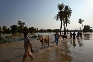 Villagers displaced from their home due to flooding lead their livestock through flood waters