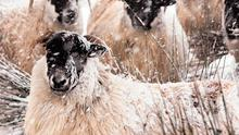 From bah to to burrr: Sheep huddle together in north Antrim