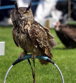An Owl at the Balmoral show.