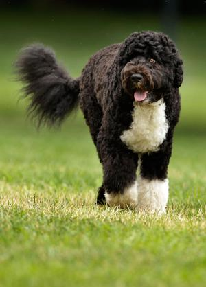 The Obama family dog, a Portuguese water dog named Bo, trots across the South Lawn