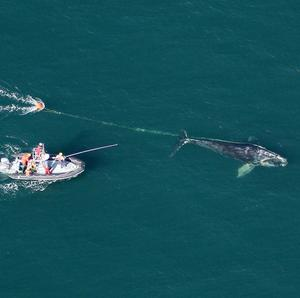 A team works to cut free rope entangled around a North Atlantic right whale off Daytona Beach, Florida (AP)