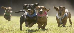 <b>Belfast Telegraph Pet's gallery:</b> 600 Dachshunds compete at the Buda Wiener Dog Races at Buda City Park in Austin, Texas.  April 2010