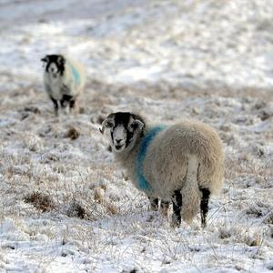 Sheep stand in the snow on the dales near Killhope in Weardale in the North Pennines