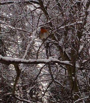 Robin Near Newforge Lane. By Don Anderson, Belfast