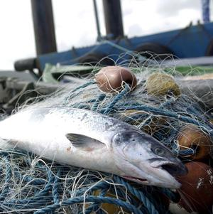 The environment would benefit if more Pacific salmon were allowed to escape from fishing nets, a study found