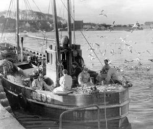 The crew of the Oriole, one of the Ardglass fishing boats, working on a heavy cargo of Whiting after yesterday's catches, the first since the port was closed last week. 9/2/1954