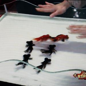 Magician Fu Yandong directs goldfishes to swim in sync during a Lunar New Year's Eve television show (AP)