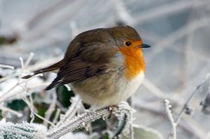 Redbreast, River Lagan. By B Maguire