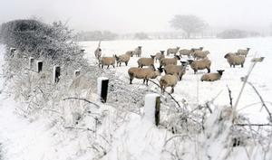 Livestock battle with the snow and freezing fog in County Antrim