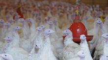 Illegal dioxin levels have been found in German poultry, officials said (AP)