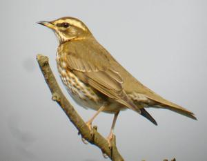 Some garden visitors to watch out for: Redwings
