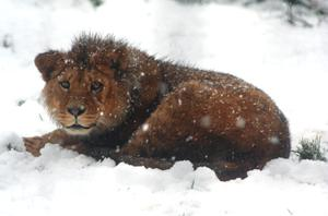Boris the Barbary lion at Belfast zoo. Submitted by Lisa Shilliday. 05/02/09