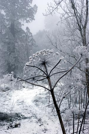 Hoarfrost on hogweed at River Bann at Gilford, County Down. Submitted by Ken Stewart. Lurgan