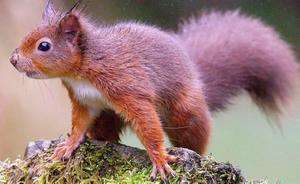 """Embargoed to 1800 Wednesday October 15.File photo dated 16/04/08 of a red squirrel in Kielder Forest, Northumberland. PRESS ASSOCIATION Photo. Issue date: Wednesday October 15, 2008. A number of red squirrels have been found with immunity to the deadly squirrelpox virus, scientists said today. The discovery provides a """"first sign of hope"""" for the native species which is threatened with extinction by the disease, the researchers said. Post-mortem tests carried out on red squirrels found eight animals which had antibodies to squirrelpox and, instead of succumbing to the disease, had fought it off and died of different causes. Until the discovery it seemed that all red squirrels which contracted squirrelpox - which is spread by their grey cousins - died from the virus. See PA story ENVIRONMENT Squirrels. Photo credit should read: Owen Humphreys/PA Wire"""