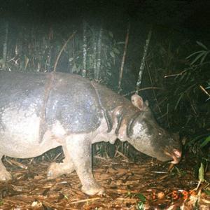 The Javan rhino in Vietnam has been declared extinct