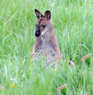 On the hop: Wallaby in Tyrone