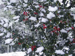 Snow on the holly. By Willie Robb Eglinton
