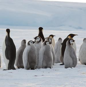 Just a few of the inhabitants of a newly-discovered 9,000-strong emperor penguin colony on Antarctica's Princess Ragnhild Coast (International Polar Foundation/PA Wire)