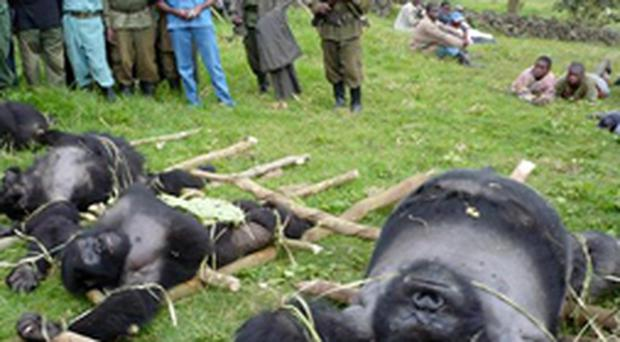 Four dead mountain were illegally killed in the Virunga National Park in the Democratic Republic of Congo. The silverback male and three females were shot in the southern sector of the park, which contains more than a fifth of the world's population of 700 mountain gorillas