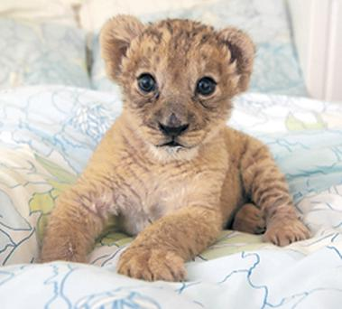 Baby Barbary Lion Lily, who's now back with the lions in Belfast Zoo