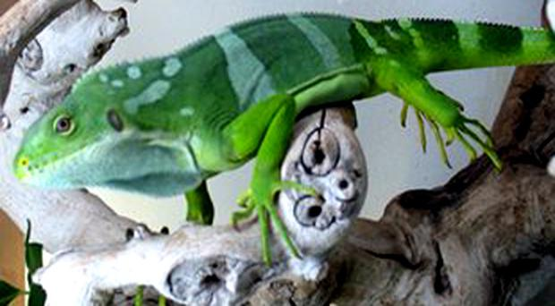 A recovered Fiji Island banded iguana that was seized from suspect's Long Beach home