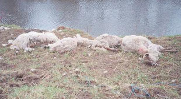 The gruesome scenes of decomposing sheep carcasses which greeted USPCA inspectors when they visited the farm near Caledon in February 2005