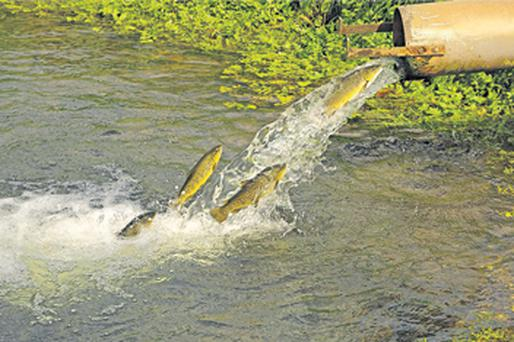 Something fishy as the trout try to escape their fish farm