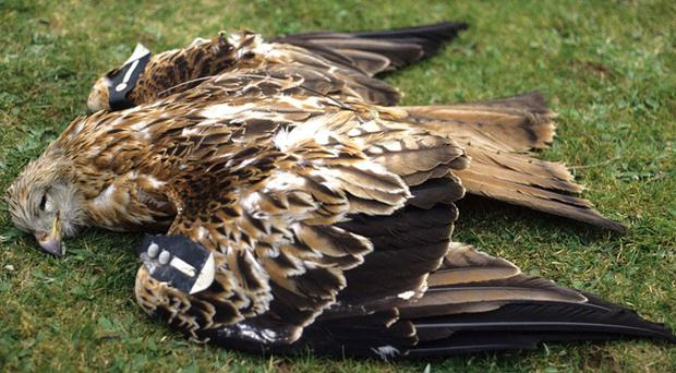 The body of a red kite was discovered in a field in Co Down.