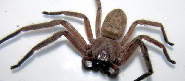 Eight-legged freak: the Huntsman spider came into Northern Ireland in a rally car