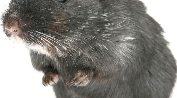 Rats your lot: £125,000 has been spent fighting plagues of rats in the last two years