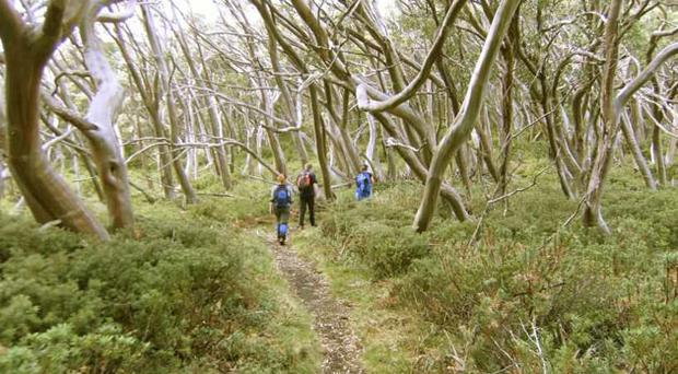 Twists and turns: The distinctive shape of snow gums form a whalebone canopy along the Walhalla Trail