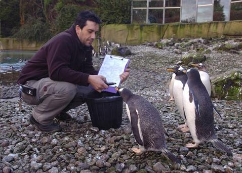 Curator Andrew Hope feeds some Gentoo penguins at Belfast Zoo