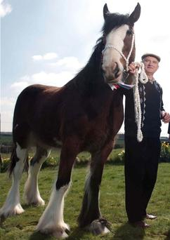 John Drummond and Enchantress - the 4,000th Clydesdale to be shown at Ireland's biggest agricultural show
