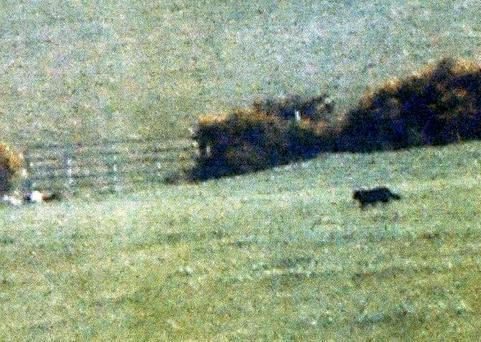 The suspected cougar crossing a field