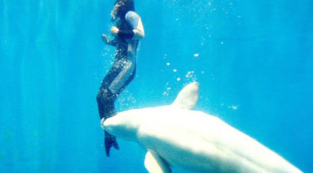 To the rescue: Mila the whale grabs the troubled diver in its mouth