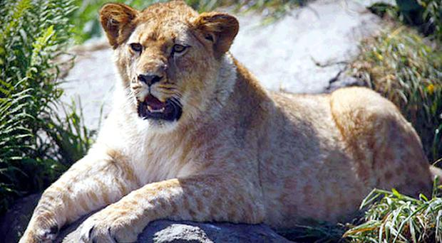 Lily the Barbary lion