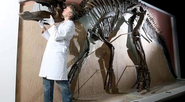 PRPHOTO FREE USE PR PHOTOT FREE USE©Press Eye Ltd-Northern Ireland - 14th August 2009. Mandatory Credit - Photo-William Cherry/Presseye.comEDMONTOSAURUS RETURNS TO ULSTER MUSEUM AHEAD OF 22ND OCTOBER OPENINGThe 22nd October 2009 has been confirmed as the opening date for the entirely rejuvenated Ulster Museum. The announcement was made as specialist conservator Nigel Larkin (pictured) installed the last piece of the skull of the 6 metre long Edmontosaurus dinosaur skeleton – one of the museum's most popular exhibits.