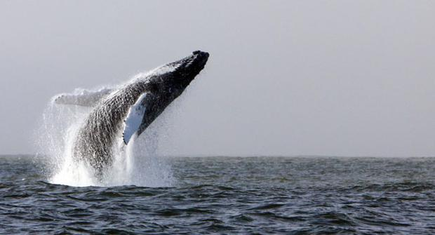 A humpback whale in the waters off Hook Head, Co Wexford