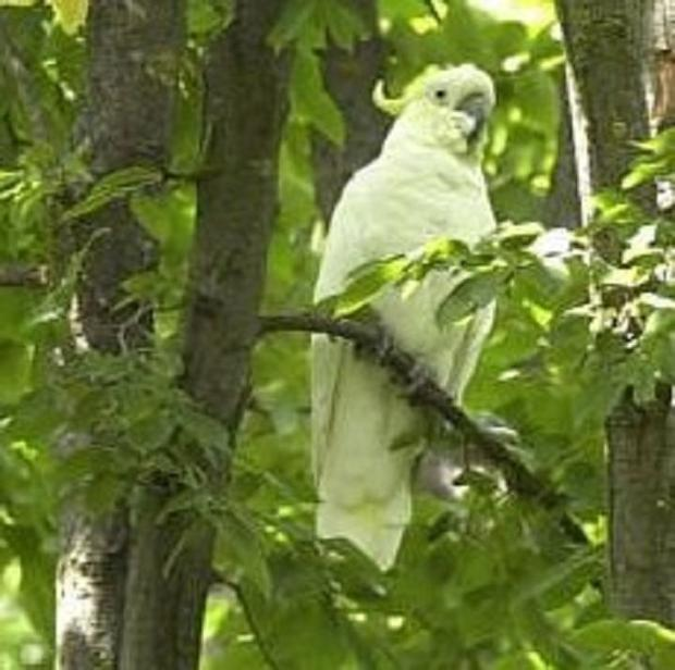 A cockatoo with the screech of a dinosaur is back in his cage after irritating residents of a Boston suburb for months.
