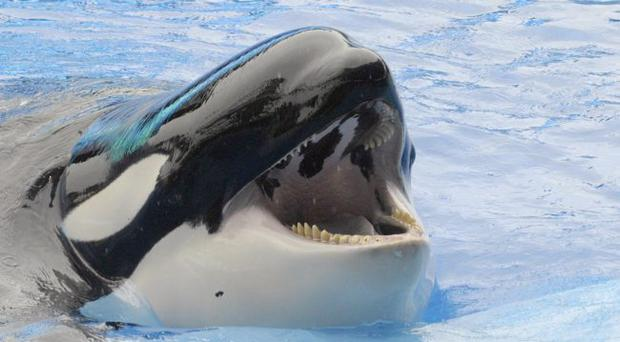 One of the killer whales at Seaworld Orlando