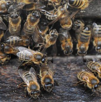 Beemune claims its natural feed product can help save millions of bees