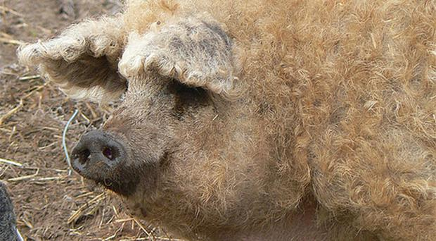 A curly haired pig..
