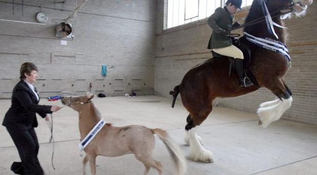 Jill McAllister (right) attempts to keep control of her Clydesdale horse during a photocall at the launch of the Balmoral Show in Belfast. March 30, 2010