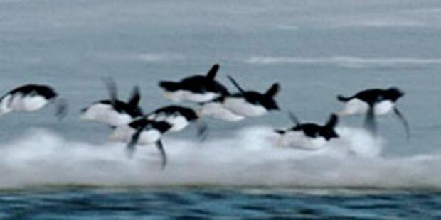 The classic BBC April Fool's hoax -flying penguins discovered in Antartica