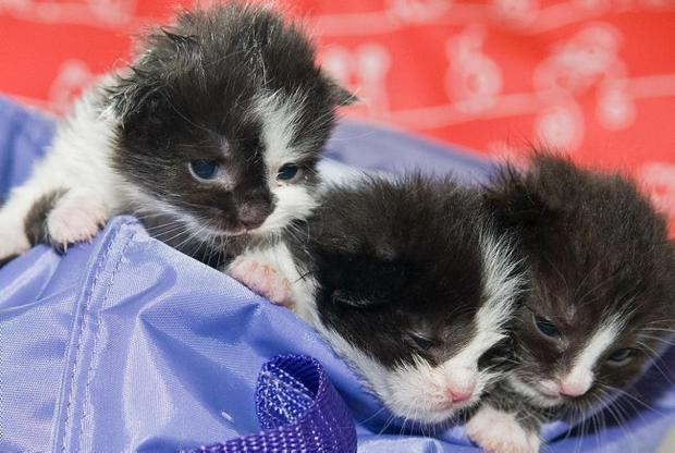 The four kittens which where rescued by the Rainbow Rehoming Centre after they were found dumped in a pillow case in the Waterside in Derry. 26.4.10